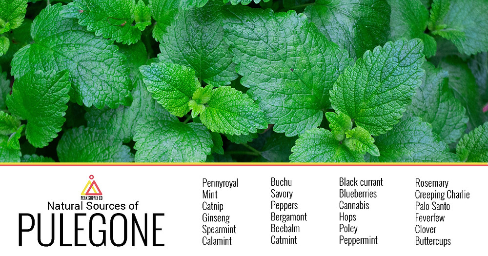 natural sources of pulegone terpenes