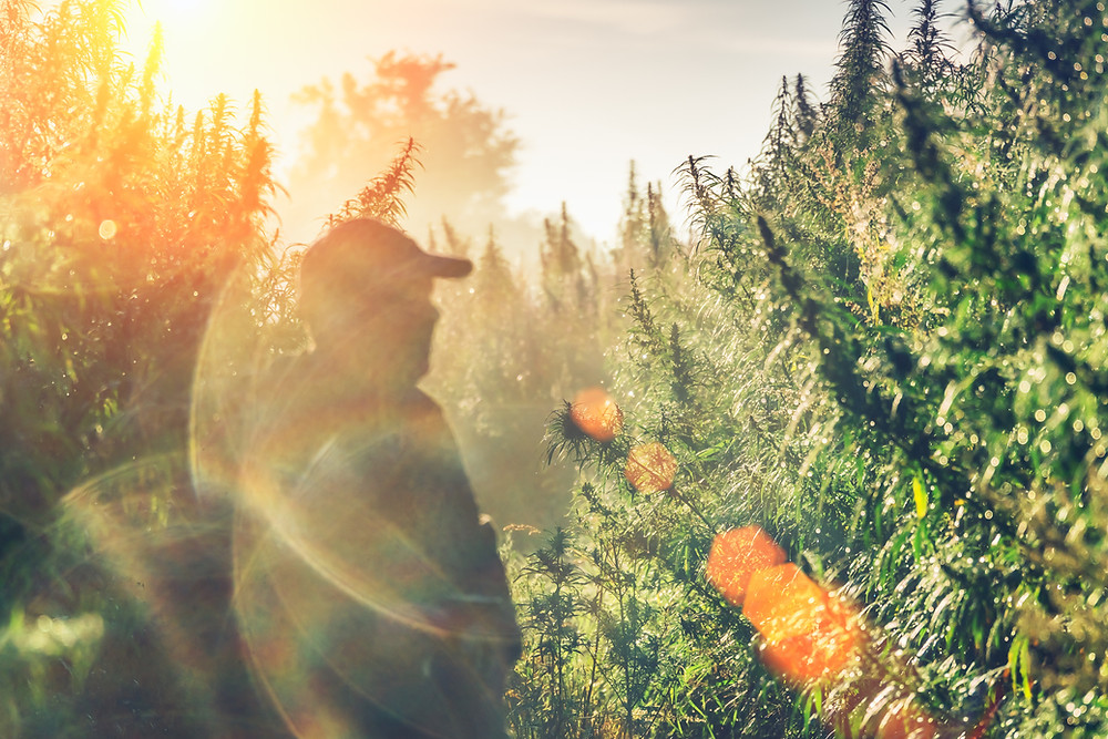 How Do Cannabis Terpenes Affect Your High? by Peak Supply Co