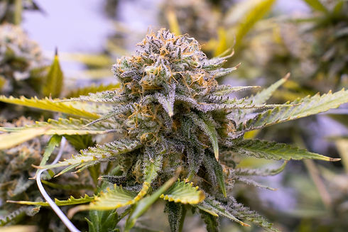 Cannabis flower by The Epic Remedy