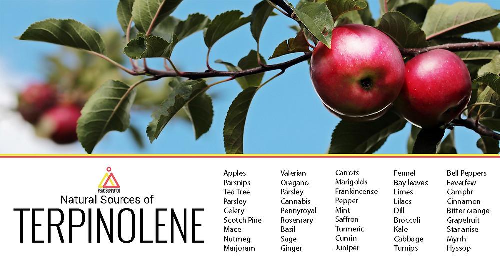 Natural Sources of Terpinolene Terpenes