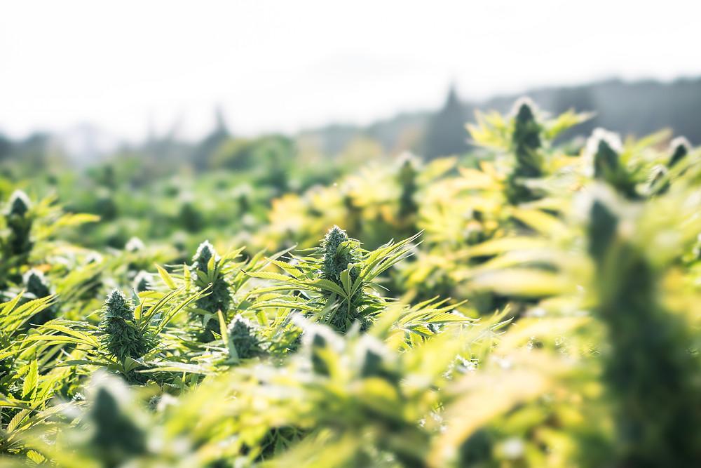 Outdoor medical marijuana grow before Croptober harvest