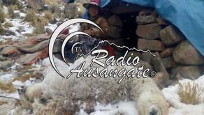 Más de 1,300 alpacas muertas en Chumbivilcas a causa de las nevadas y ayuda para ellos no llega