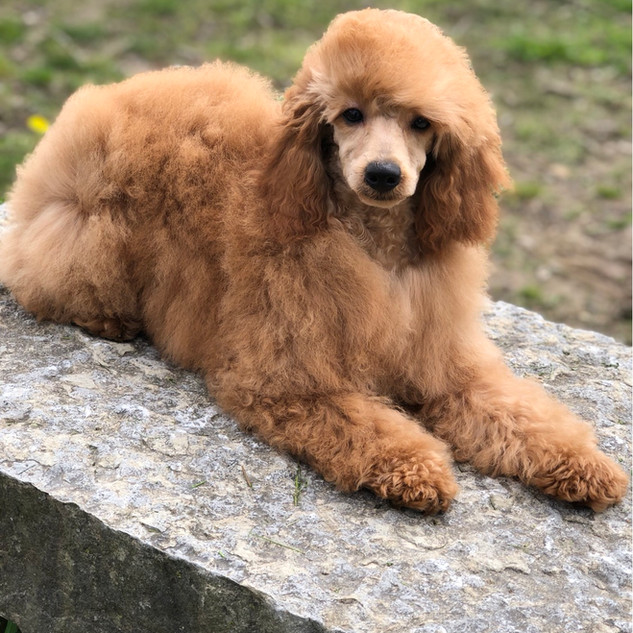Garbo Mini Poodle female in a guardian home