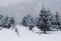 snowytrees_lg