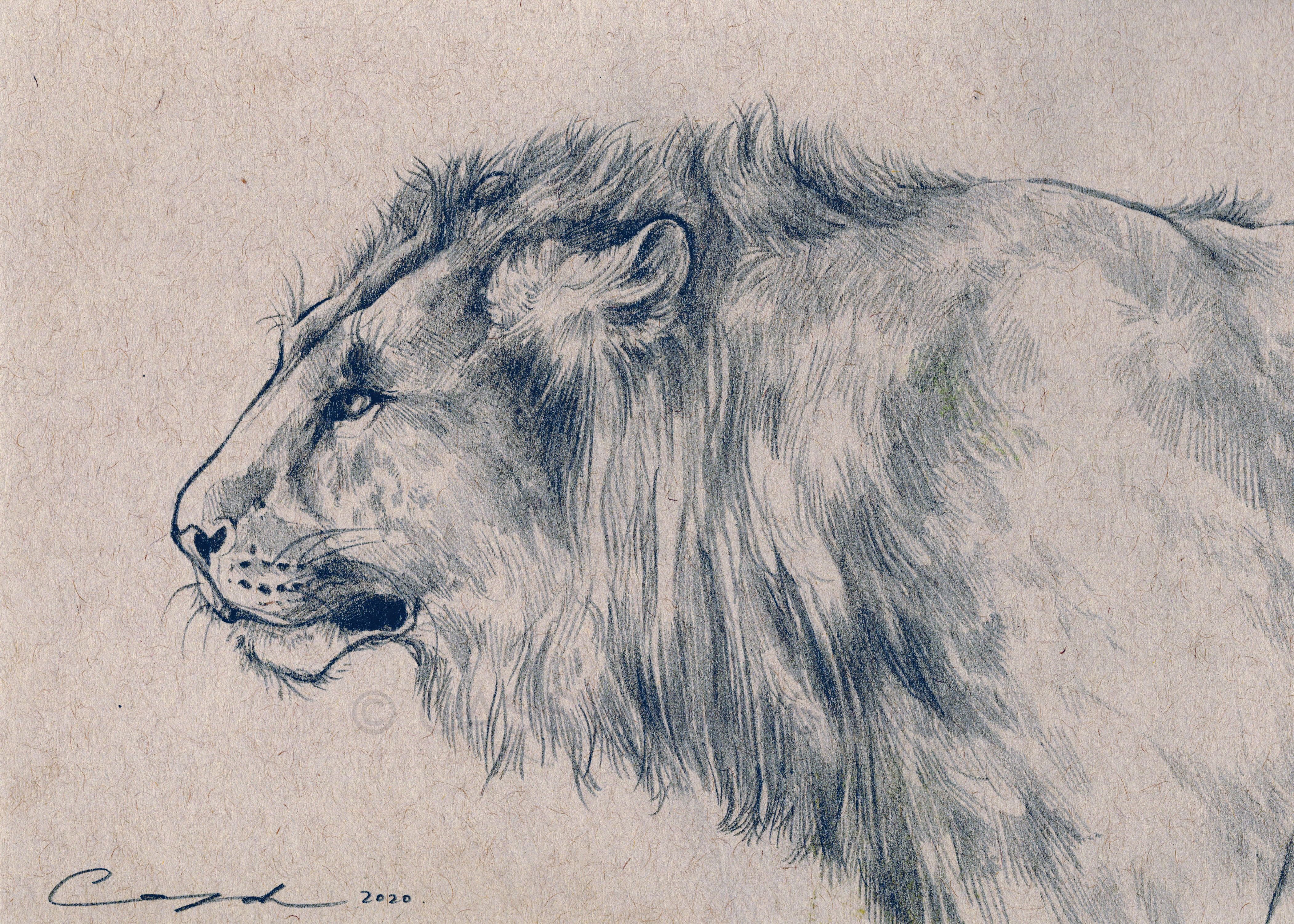 """Lion Sketch"""