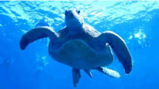 Loggerhead Turtle Pic.jpg