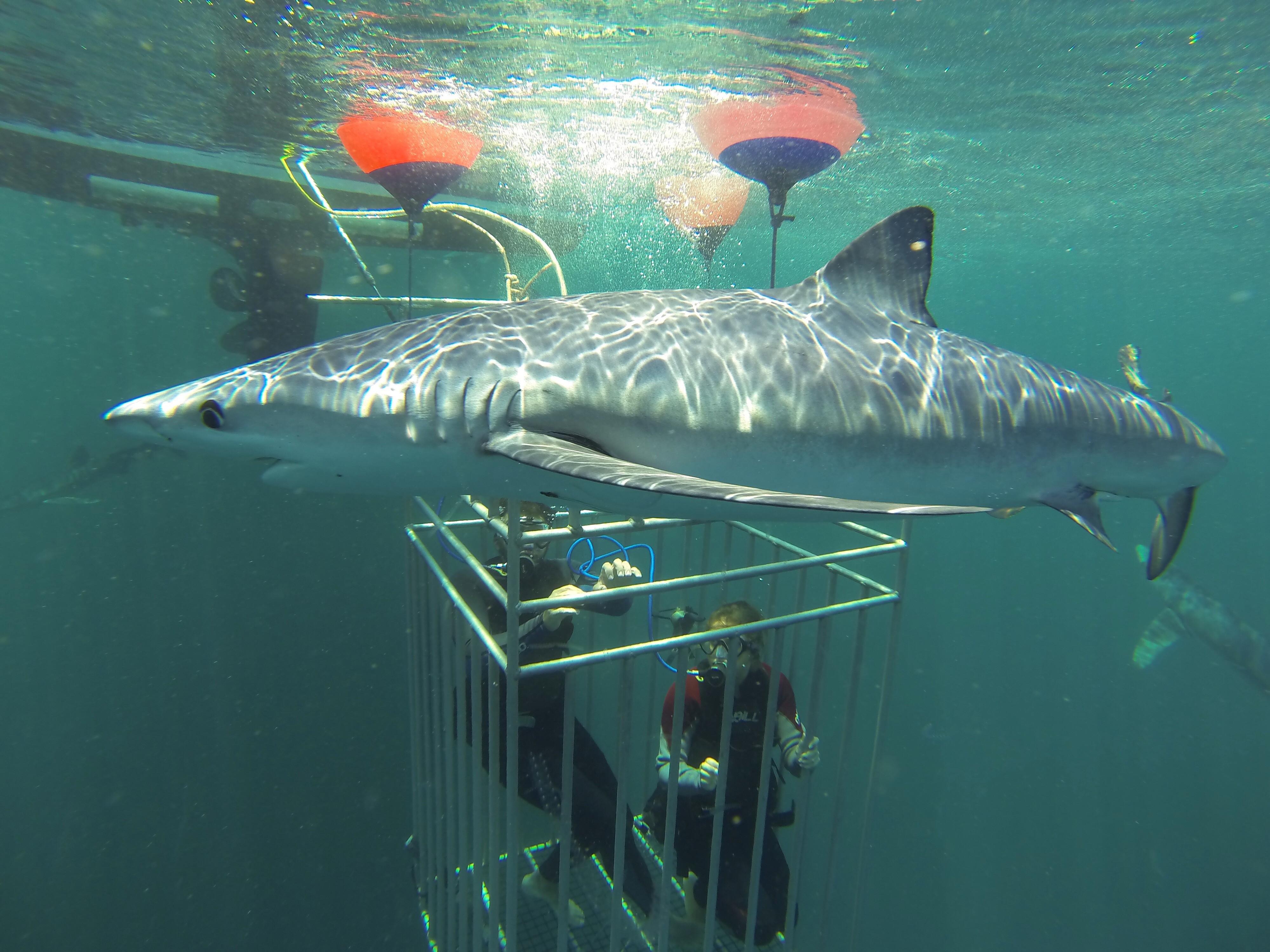 Shark Dive Regular Trip