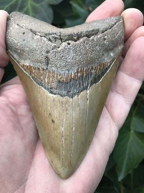 MEGALODON Shark Tooth Fossil