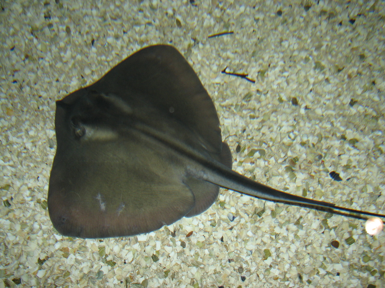 Common_stingray_tynemouth
