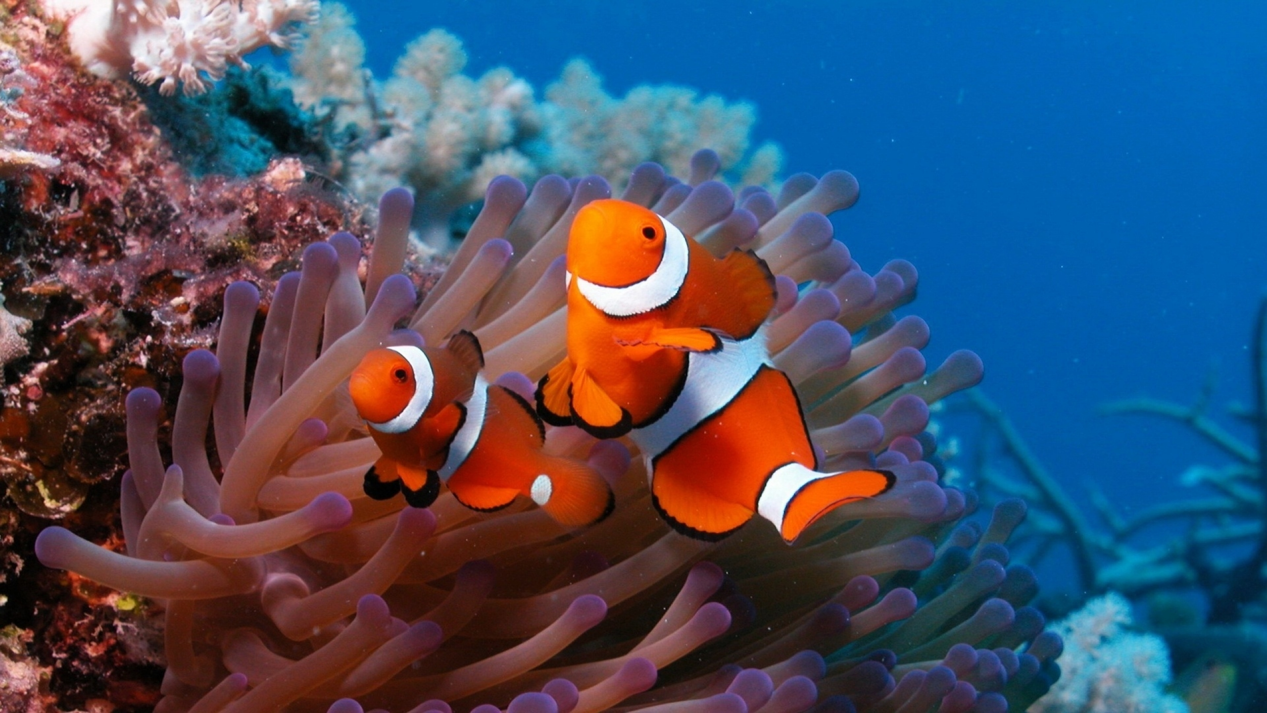 sea_reef_coral_fish_sea_anemones_clown_72850_2560x1440