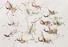 Penvintle Bush Crickets