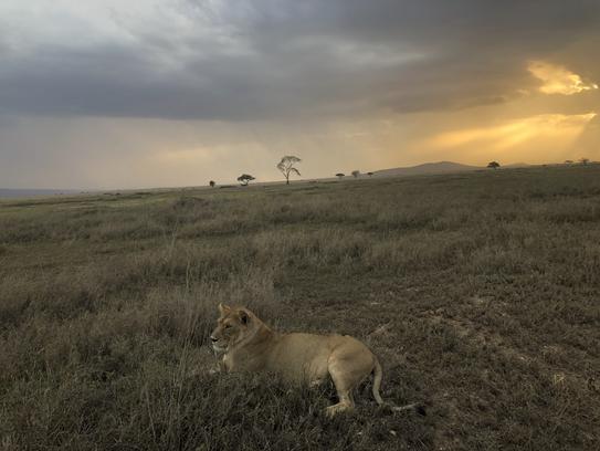 Adventure Travel Tanzania Girl Power Lion Sunset.HEIC