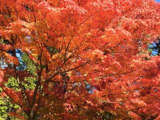 鎌倉の紅葉も見頃です