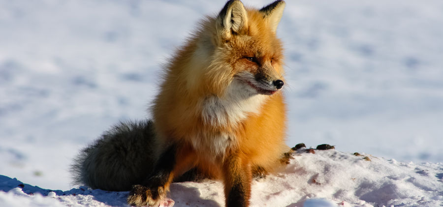 Winter Road Red Fox