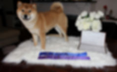 win at dog show shiba inu