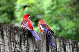 Two Rosellas