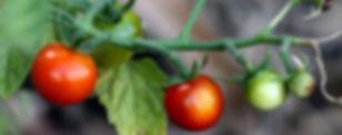 tomatpes (2).jpg