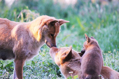 two of our dingoes and one of their pups