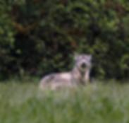 Wolf%20%20May%2030%202017%20_DSC1013_edi