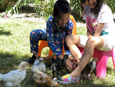 Raising Backyard Chickens in Lamorinda California with Kids