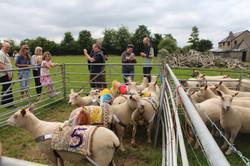 Sheep & Pig Racing (8)