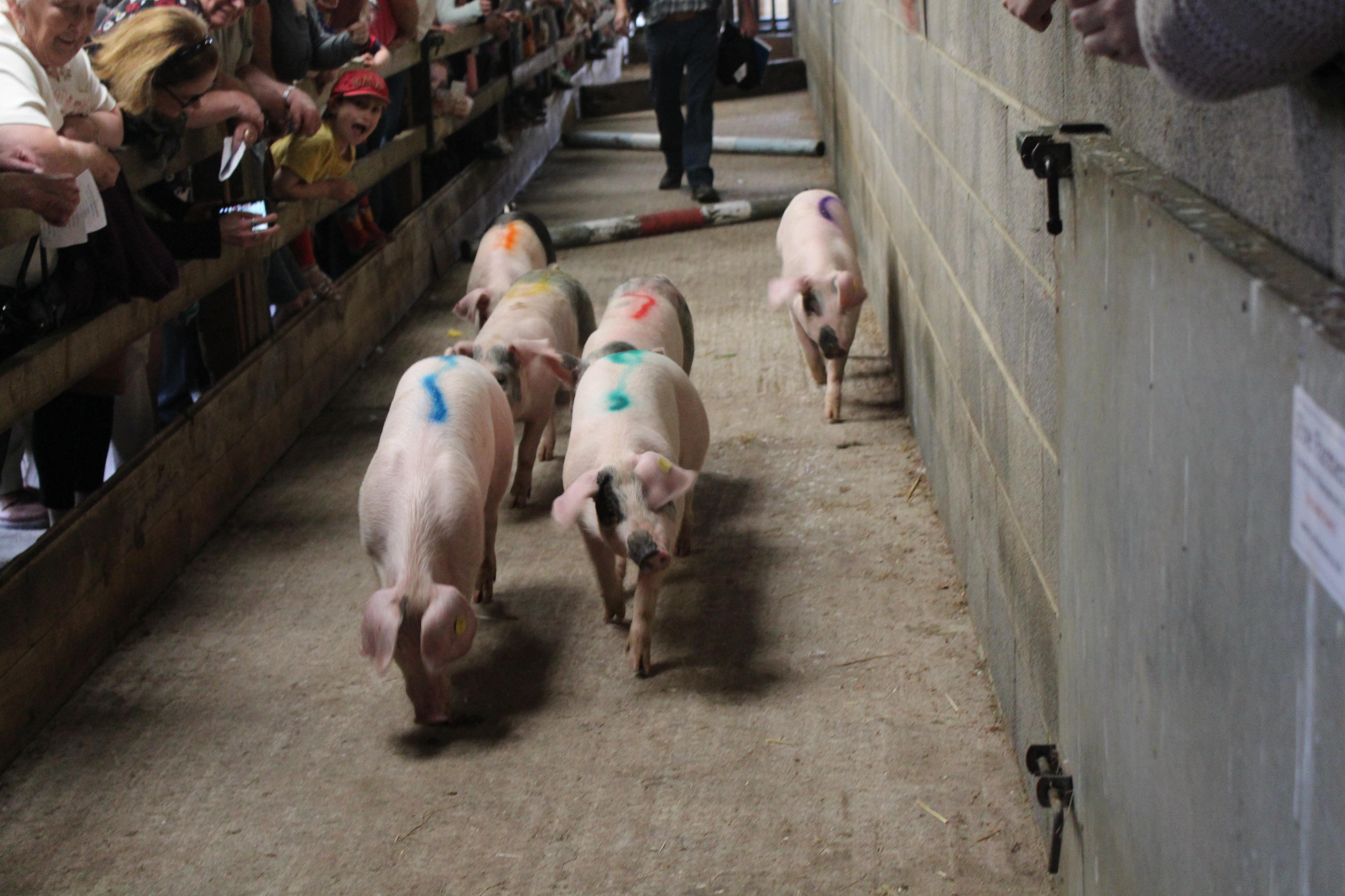 Sheep & Pig Racing (7)