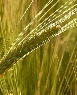 barley-field-barley-cereals-grain-87822.