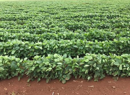 Soya Beans as an alternative crop