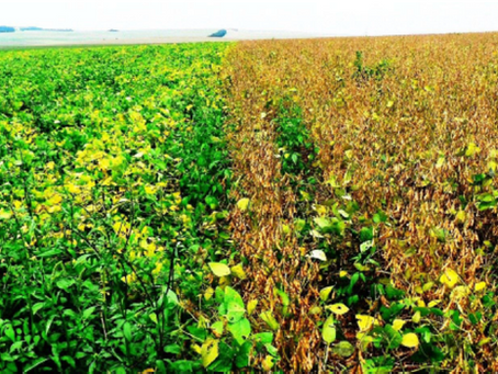 Critical Mistakes Made with Soybeans - Planting date, cultivar, maturity & heat