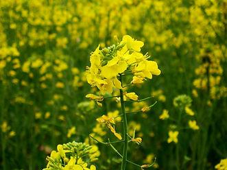 Mustard_plant.jpg