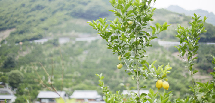 大長産レモン(化学農薬・化学肥料不使用)