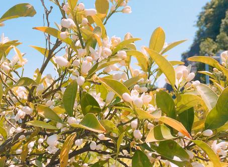 ネロリの香りに癒される・・花摘み蒸留体験開催中。