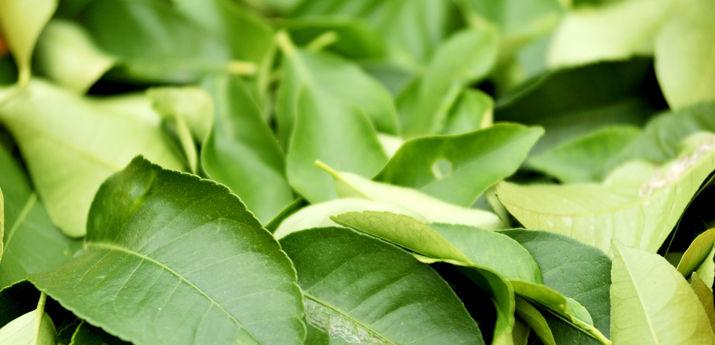 プチグレインレモン(無農薬)