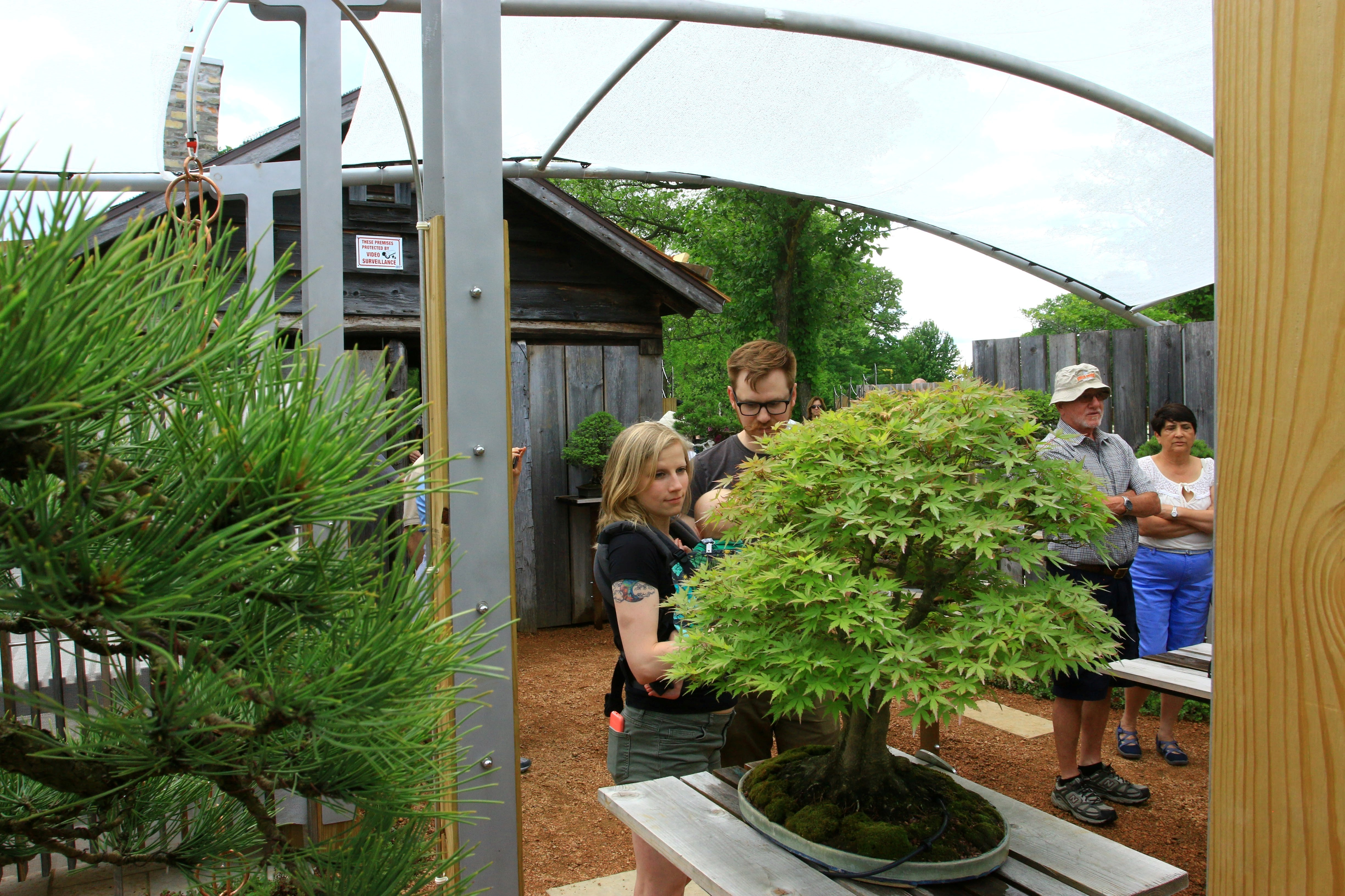 Examining one of the bonsai