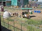 Goats enjoying their new enclosure