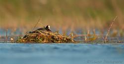 Foulque au nid-Rés. du Scamandre