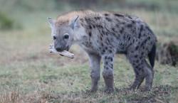 Jeune Hyène
