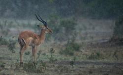 Impala sous la pluie