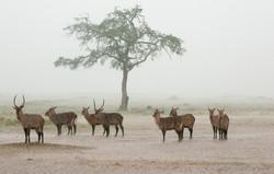 Gazelles Sing sing