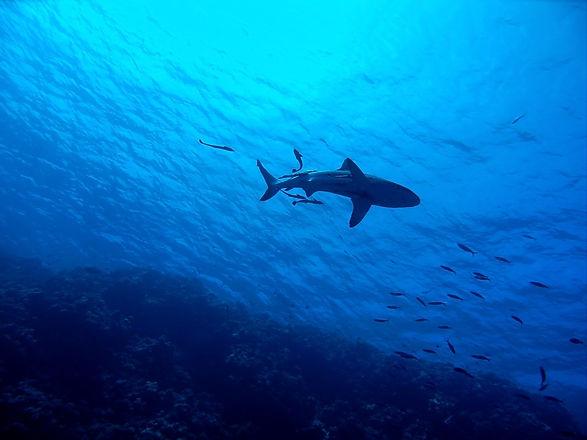 Tieftauchen-shark.jpg