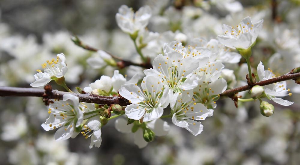 Julian Apple Blossoms