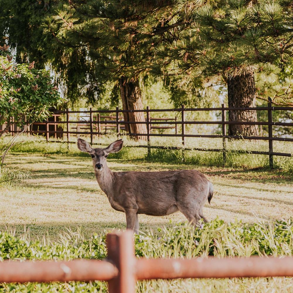 A wild deer in the San Diego Mountain town of Julian, CA - Jennifer Gutierrez