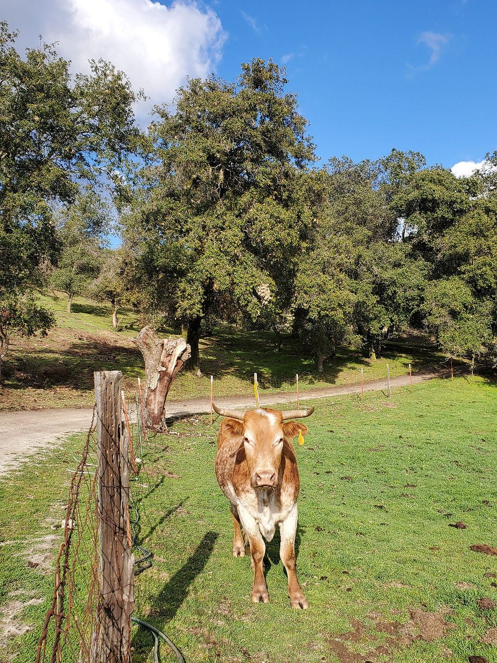 Bull in San Diego County ranching country.