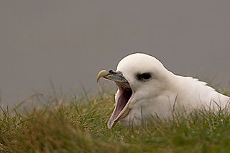 fulmar birdwatch northumbria contact us