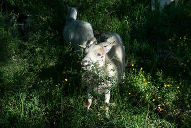 chèvres-1.jpg