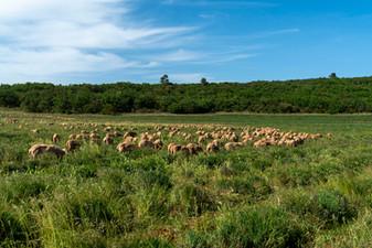 Moutons-1.jpg