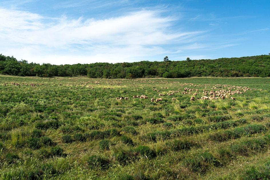 Moutons-2.jpg