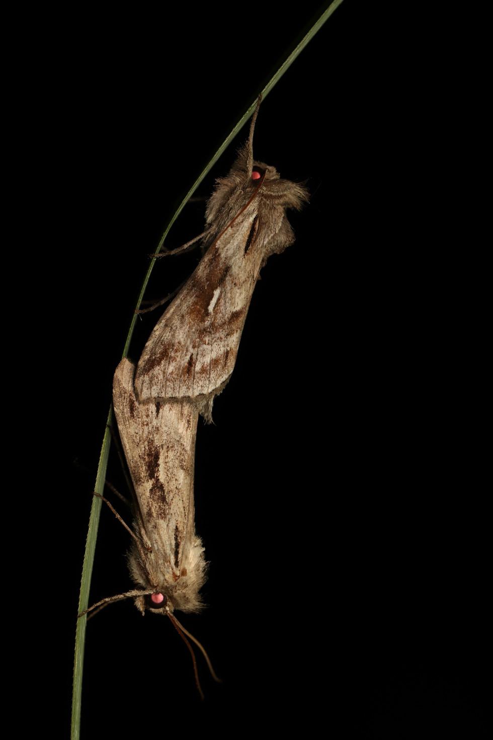 ダイセンセダカモクメ Cucullia mandschuriae