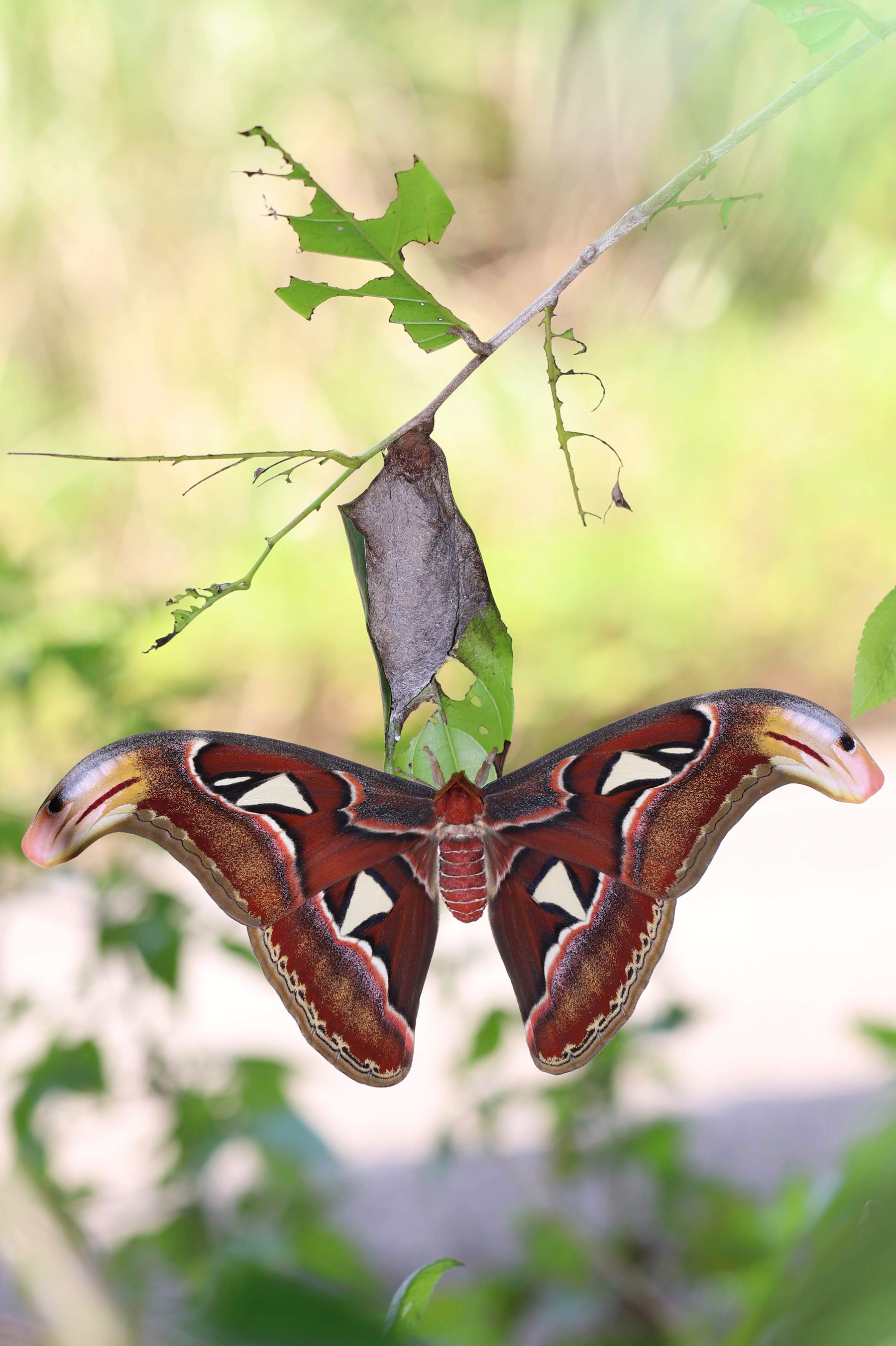 ヨナグニサン Attacus atlas ryukyuensis