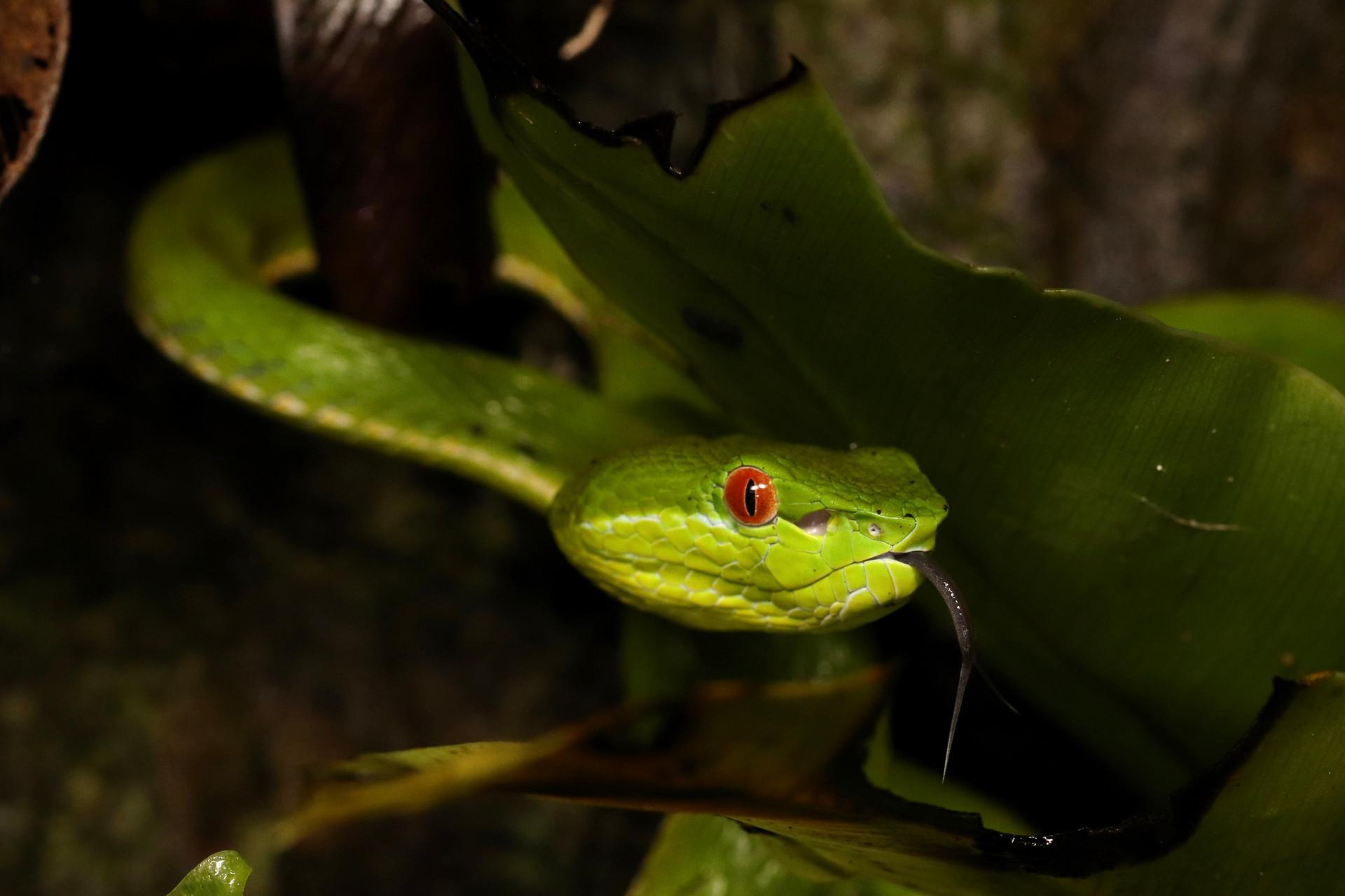 タイワンアオハブ Trimeresurus stejnegeri